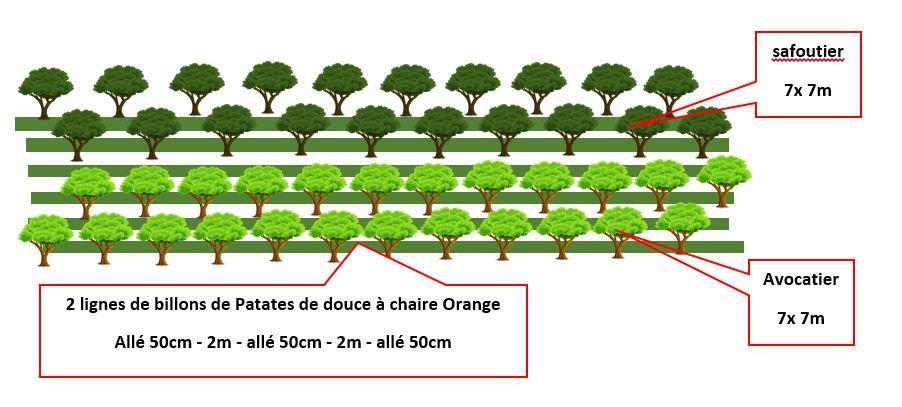schéma système agroforestier